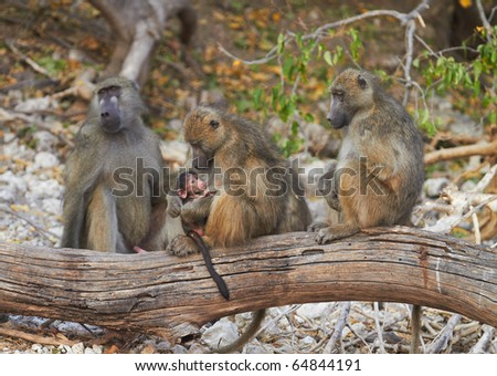 Chacma baboons (Papio cynocephalus ursinus) in the early morning sunrise on the banks of the Chobe River in the Chobe Wildlife reserve, Botswana - stock photo