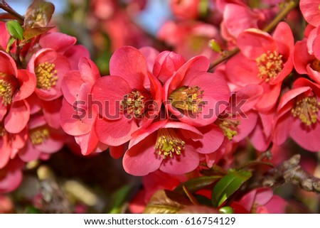 Chaenomeles, It is a genus of three species of deciduous spiny shrubs. The flowers are 3–4.5 cm diameter, with five petals, flowering is in late winter or early spring. Red beautiful flowers.
