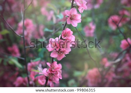 Chaenomeles Japonica Japanese Quince branch blossoming. Vintage colour correction. - stock photo
