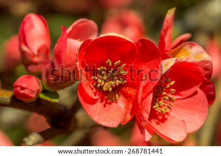 chaenomeles quince flower closeup - stock photo