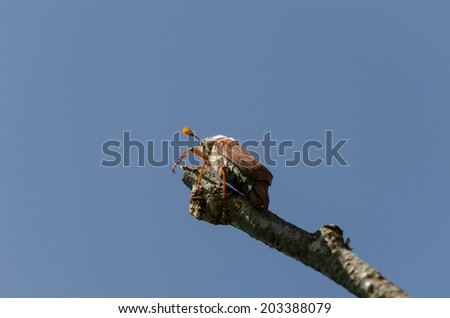 chafer bug crawl on dry tree branch on blue sky background  - stock photo