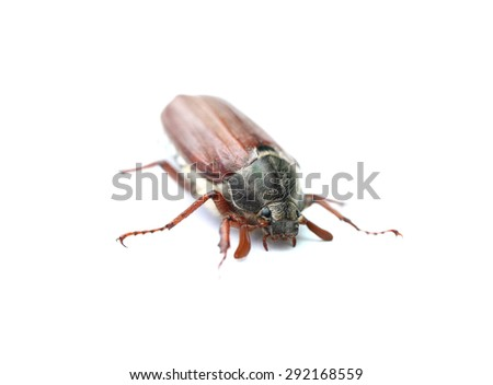 chafer closeup isolated on a white background - stock photo