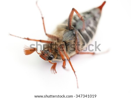 chafer lying on his back - stock photo