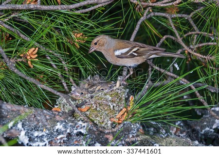 Chaffinch at its nest with chicks on a pine tree - stock photo