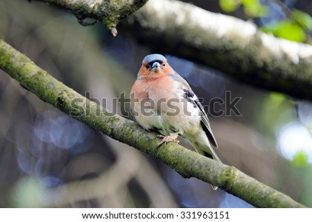 Chaffinch bird, Fringílla coélebs, songbird of the family of finches, bird, close, common in Europe, Western Asia and North Africa; settles in the East, the wild bird in summer, bird on a branch. - stock photo