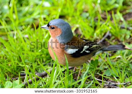 Chaffinch bird, Fringílla coélebs, songbird of the Finch family, common in Europe, Western Asia and North Africa; settles in the East, wild nature, forest in summer, wild animals. - stock photo
