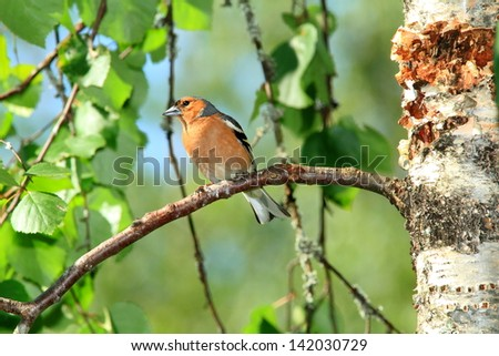 chaffinch birds of finland wildlife lakes forests of fir and birch summer flowers - stock photo