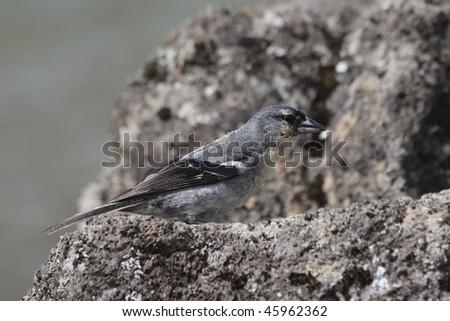 Chaffinch (Fringilla coelebs moreletti Pucheran) on  vulcanic rock at azores - stock photo