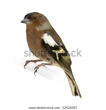 Chaffinch - Fringilla coelebs on its perch in front of a white background - stock photo