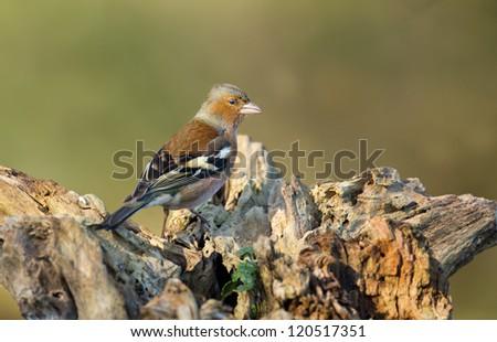Chaffinch (Fringilla coelebs) sits on a stump - stock photo