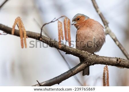 Chaffinch (Fringilla coelebs).Wild bird in a natural habitat. - stock photo