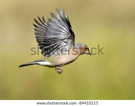 Chaffinch in flight - stock photo