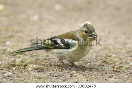 chaffinch in the ground - stock photo