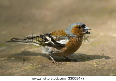 chaffinch in the ground 1 - stock photo