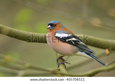 Chaffinch/in the spring time