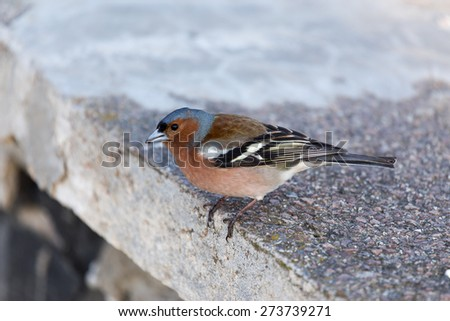 Chaffinch looking in camera - stock photo