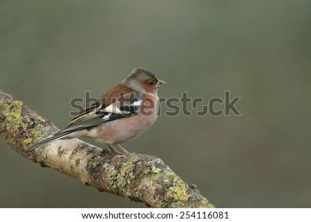 Chaffinch male - stock photo