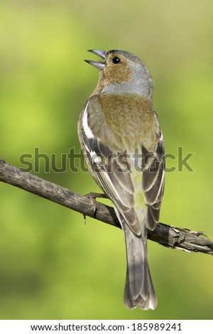 chaffinch male in natural habitat / Fringilla coelebs - stock photo