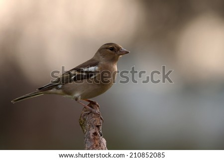 Chaffinch on a branch - stock photo