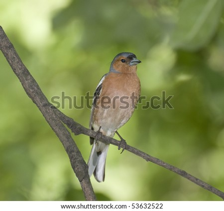 chaffinch on a tree