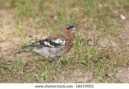 chaffinch on the grass - stock photo