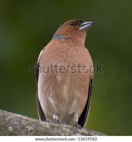 chaffinch on the tree - stock photo