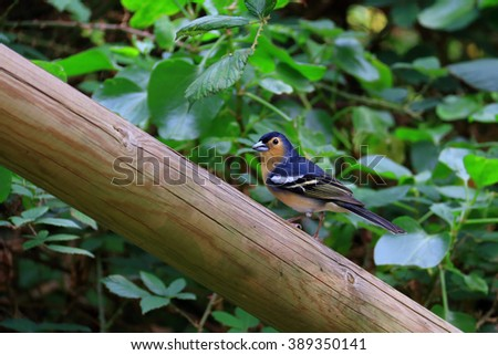 Chaffinch resting on a pole - stock photo