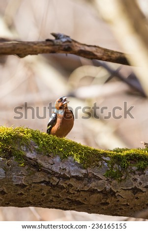 Chaffinch singing from a tree branch - stock photo