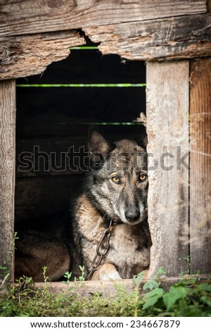 Chained dog with sad eyes watching out of his kennel  - stock photo