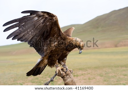 chained golden eagle with spread wings on gauntlet - stock photo
