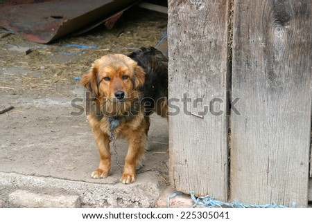 Chained small brown watchdog puppy in wooden shed