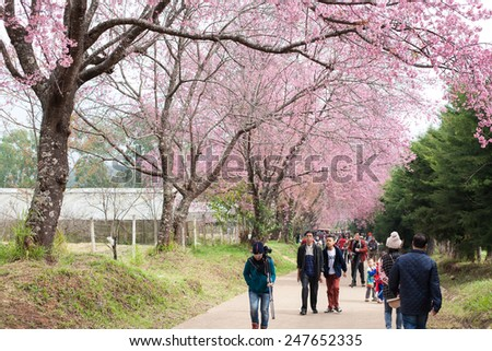 CHAINGMAI, THAILAND - JANUARY 18: An unidentified tourist view Prunus cerasoides garden. The festival is spring celebration of Thailand on January 18, 2015 in Chaingmai, Thailand. - stock photo