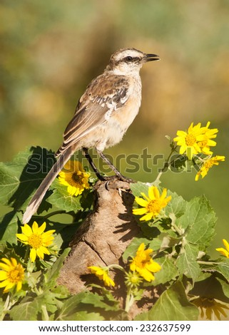 Chalk-browed Mockingbird (Mimus saturninus) surrounded by unidentified sunflowers. Patagonia, Argentina, South America. - stock photo