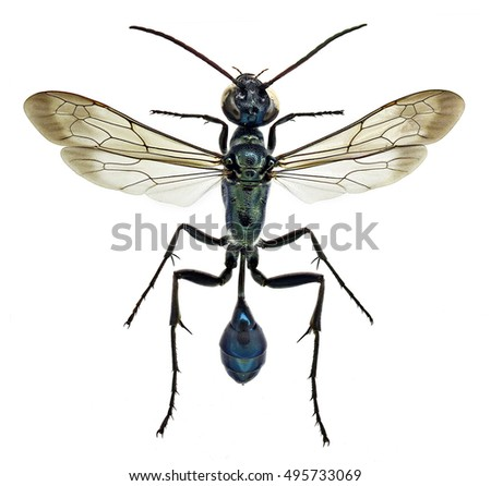 Chalybion bengalense, an invasive mud dauber wasp from Asia