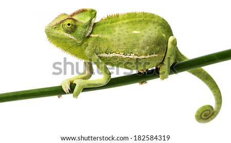 Chamaeleo calyptratus, female - stock photo
