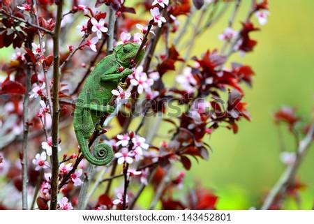 Chamaeleo chamaeleon hunting and waiting for his prey - stock photo