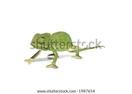 chameleon 7 - stock photo