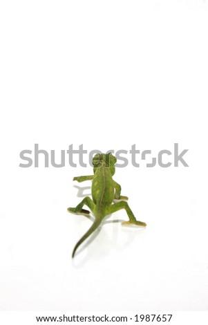 chameleon 10 - stock photo