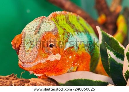 chameleon - stock photo