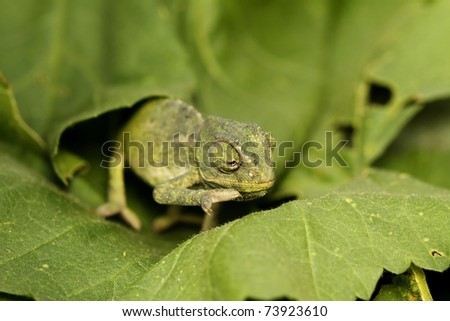 chameleon crawling on a green leaf - stock photo