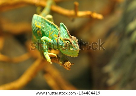Chameleon crawling on branch in terrarium - stock photo