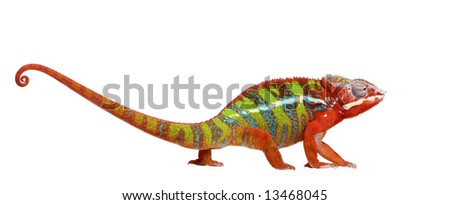 Chameleon Furcifer Pardalis - Ambilobe (18 months) in front of a white background - stock photo