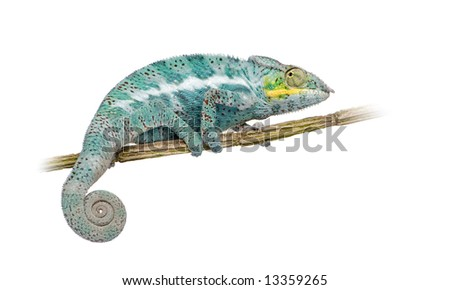 Chameleon Furcifer Pardalis - Nosy Faly (18 months) in front of a white background - stock photo