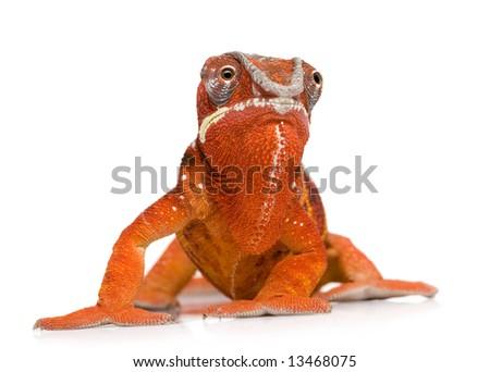 Chameleon Furcifer Pardalis - Sambava (2 years) in front of a white background - stock photo