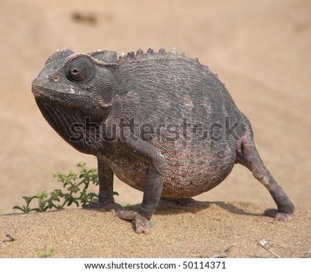 Chameleon in the desert - stock photo