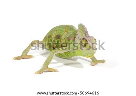 Chameleon isolated on a white background - stock photo