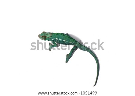 chameleon on isolated background