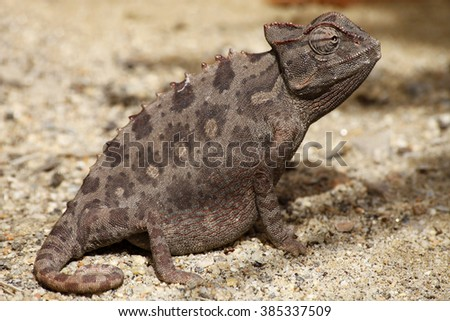 chameleon on Namibia desert