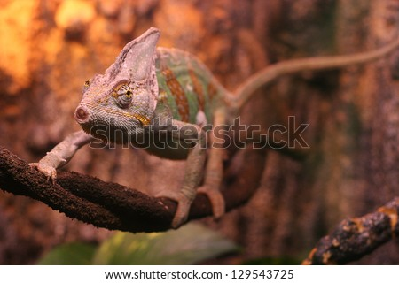 chameleon on the tree - stock photo