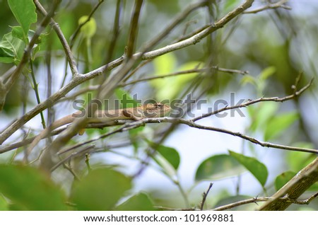 chameleon on tree - stock photo